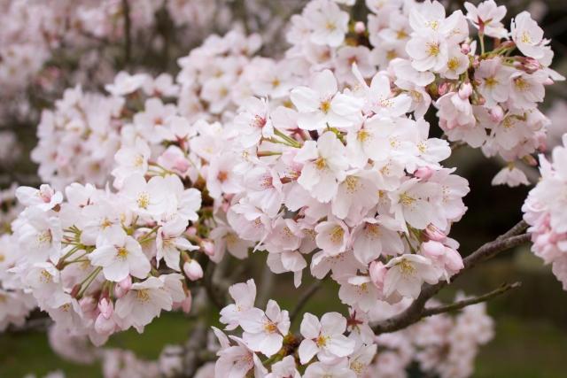 4月生まれの人に贈りたい花は?誕生日にピッタリな花言葉もご紹介