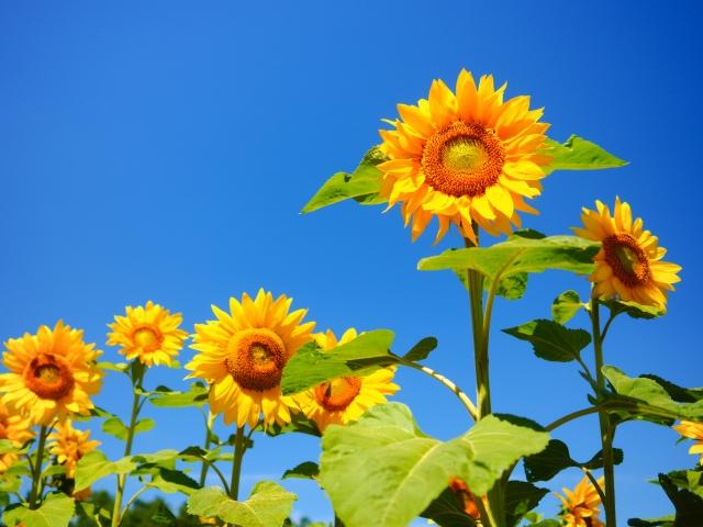 8月に咲く花と言えば何?花の特徴や花言葉も合わせてご紹介!