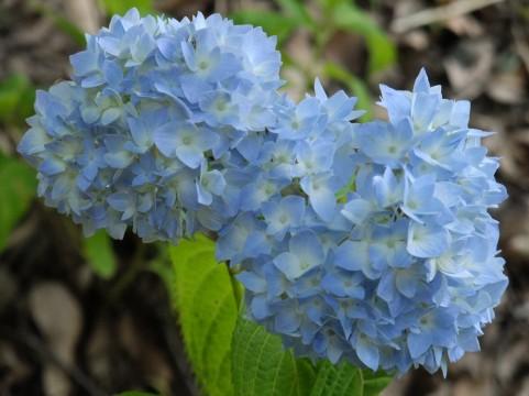 紫陽花(アジサイ) 花言葉