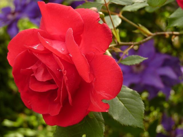 薔薇(バラ) 花言葉?