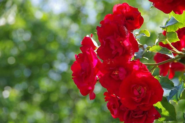 意外と知らない?バラの花言葉が実は奥深かった件!