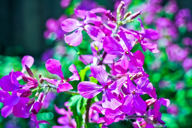 ベゴニア 花言葉