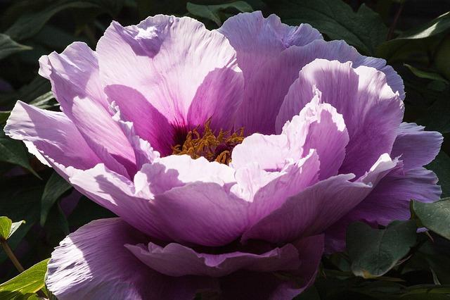 牡丹(ボタン) 花言葉