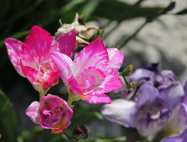 フリージア 花言葉