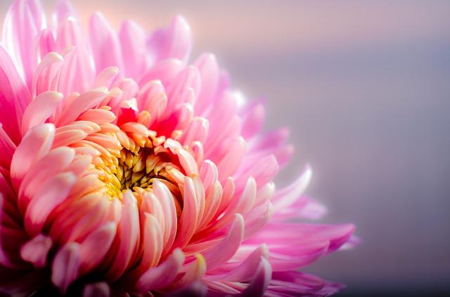 菊(キク) 花言葉