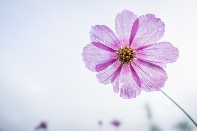 秋桜(コスモス) 花言葉