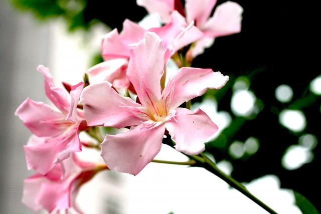 夾竹桃(キョウチクトウ) 花言葉