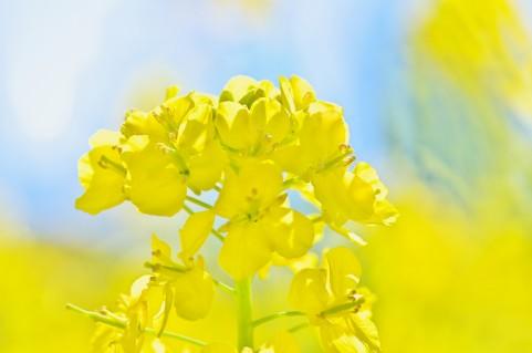 菜の花(ナノハナ) 花言葉