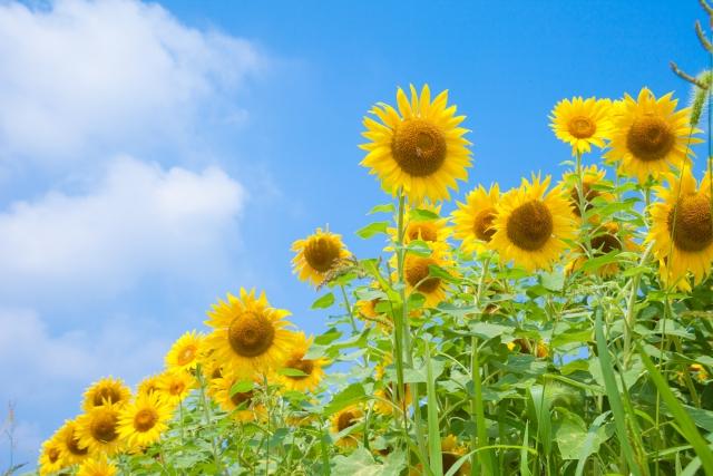 夏にはどんな花が咲く?夏に咲く花一覧