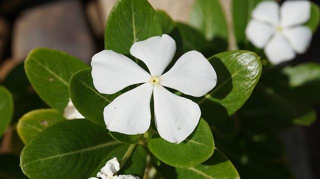 日々草(ニチニチソウ) 花言葉