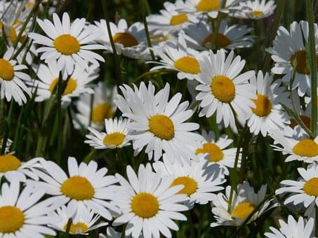 野路菊(ノジギク) 花言葉