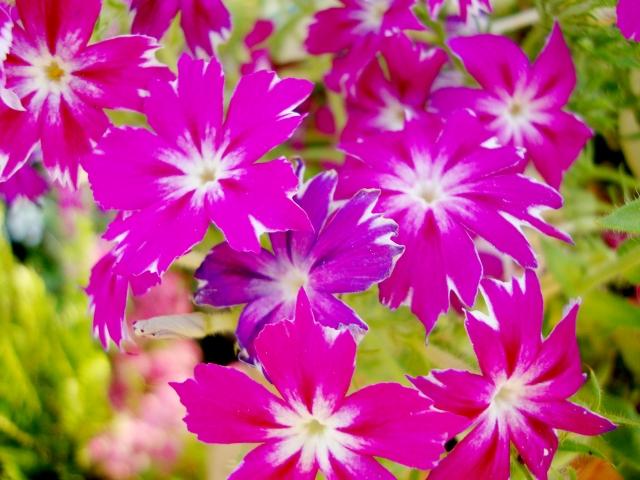 花魁草(オイランソウ) 花言葉