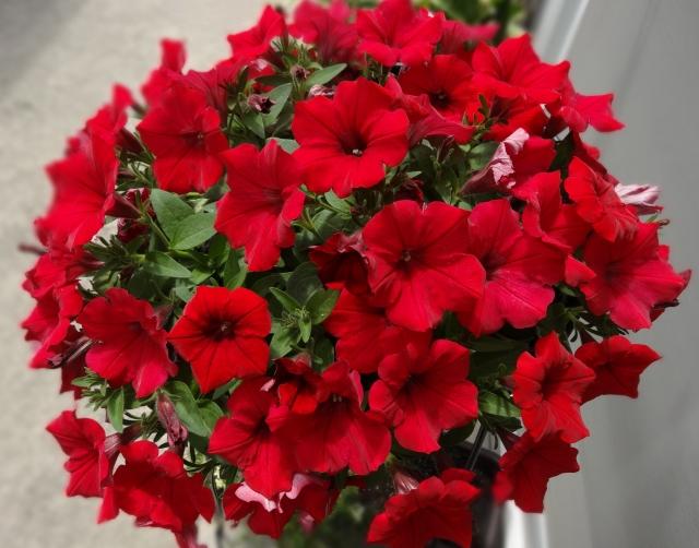 サフィニア 花言葉