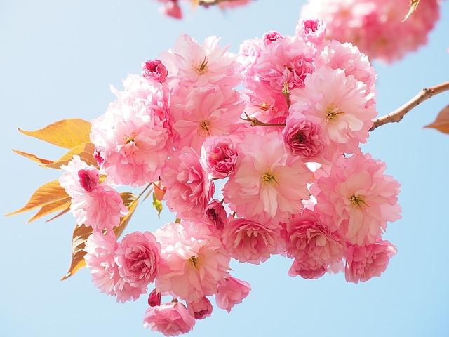 桜(サクラ) 花言葉