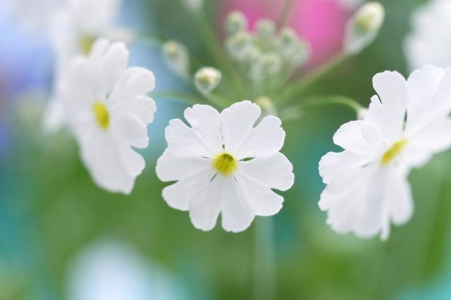 桜草(サクラソウ) 花言葉
