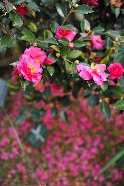 山茶花(サザンカ) 花言葉