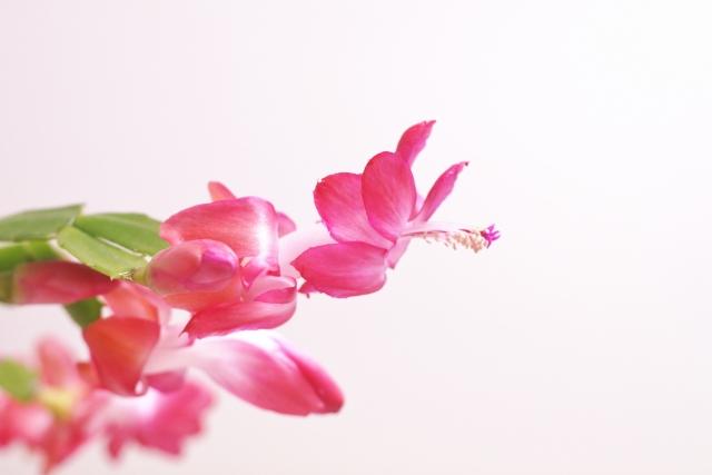 シャコバサボテン 花言葉