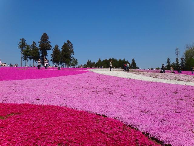 芝桜(シバザクラ) 花言葉