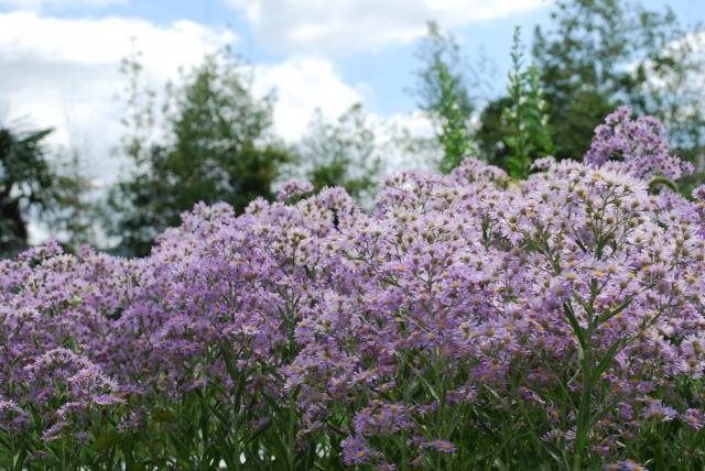 紫苑(シオン) 花言葉
