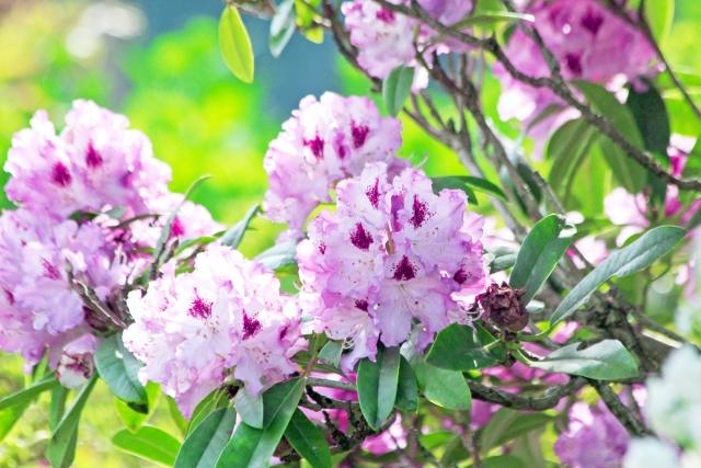 石楠花(シャクナゲ) 花言葉