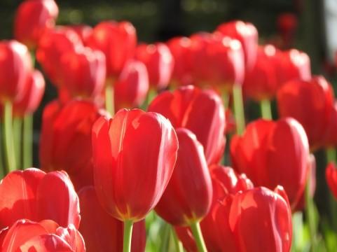 チューリップ 花言葉 赤