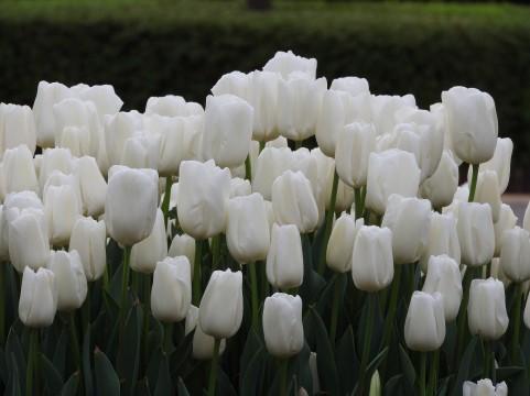 チューリップ 花言葉 白