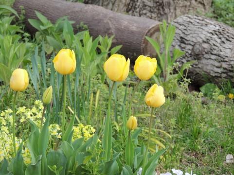 チューリップ 花言葉 黄色