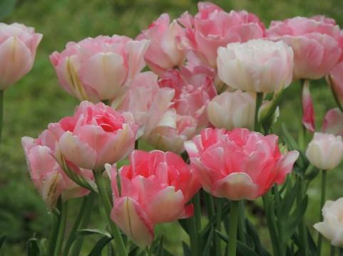 チューリップ 花言葉 ピンク