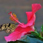 ハイビスカスの花言葉は?由来や伝統も紹介!