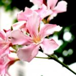 夾竹桃(キョウチクトウ)の花言葉とその由来!毒が危険?