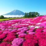 芝桜(シバザクラ)の花言葉は?色によって花言葉も変わるの?
