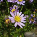 紫苑(シオン)の花言葉とその由来も紹介!漢方にも使用されている?