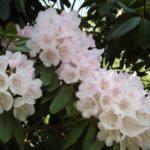 石楠花(シャクナゲ)の花言葉とその由来とは?毒があるの?