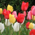 チューリップの花言葉は?花言葉の逸話とは?