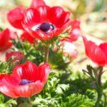 アネモネの花ってどんな花?花言葉やその由来についてもご紹介!