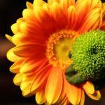 木瓜(ボケ)の花言葉は? 由来や庭植えをする時のポイントとは?