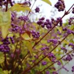 紫式部(ムラサキシキブ)の花言葉や由来とは? 紫という色の効果は?