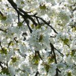 桜(サクラ)の花言葉は?由来やいわれも紹介!