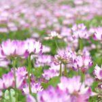 蓮華草(レンゲソウ)とはどんな花?花言葉と由来についてもご紹介!