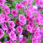 夏に咲く花でガーデニング!人気の花をランキングでご紹介!
