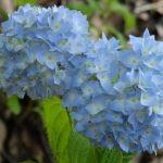 紫陽花(アジサイ)の花言葉 花言葉は色で変わるの?由来や意味は?