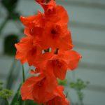 グラジオラスの花言葉と由来とは??人目を忍ぶ恋人たちの密会時間を知らせる花?