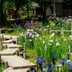 花菖蒲(ハナショウブ)の花言葉は?あやめやカキツバタとは違う花なの?