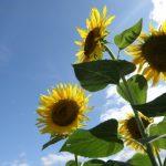 向日葵(ヒマワリ)の花言葉は?向日葵の名前の由来とは?