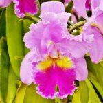 カトレアの花言葉とは?色で意味も変わるの?名前の由来も紹介