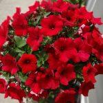 サフィニアの花言葉とは?サフィニアの由来や意味は?