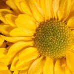 トルコギキョウの花言葉って何?花言葉の意味や由来は?
