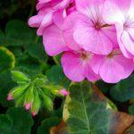 ゼラニウムの花言葉とその逸話!種類や色でも変わる花言葉