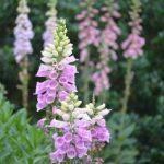 ジギタリスの花言葉とその逸話 綺麗な花には毒がある!?