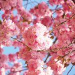 桜の雑学!実は縁起が悪かった?知ってると得意顔!
